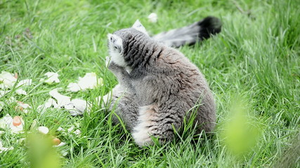 Lemur catta eating on green grass
