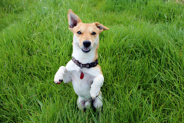 Jack Russell Terrier auf grüner Wiese