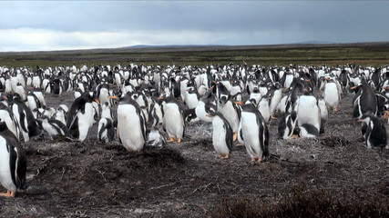 Gentoo Penguin  - Sphenis magellanicus  -  Falkland Islands