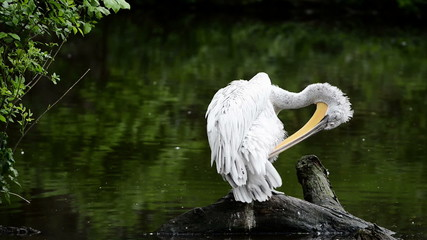 Pelican sitting on a stump and cleans feathers
