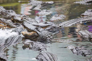 Aligator Swarm
