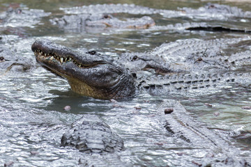 Swarm of Alligators