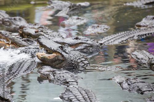 Poster Aligator Swarm