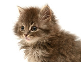 Beautiful persian little kitten - 64798048