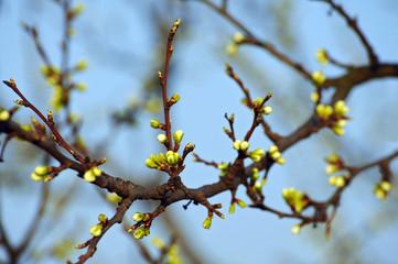 Junge Knospen am Zweig eines Baumes