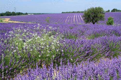 Foto op Aluminium Pansies valensole provenza francia campi di lavanda fiorita