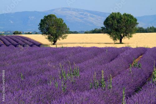 Plakat valensole provenza francia campi di lavanda fiorita
