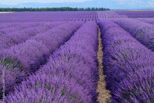 Fotobehang Pansies valensole provenza francia campi di lavanda fiorita