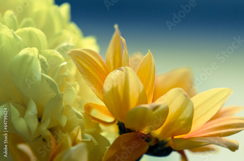 chrysanthemum flower