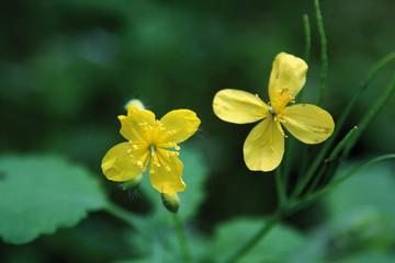 Flor de celidonia, chelidonium majus