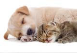 kitten and puppy - 64800033