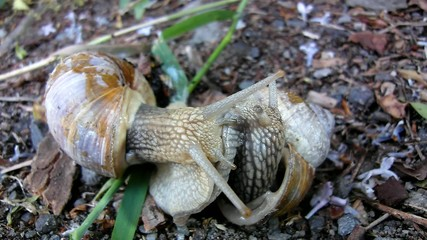 Two big snails have a sex. Closeup view to snail reproduction.