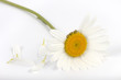 daisy with petals torn
