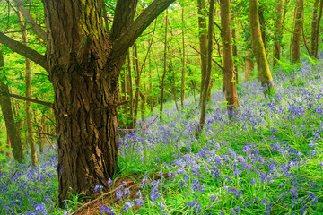 Cornish Bluebells Woods