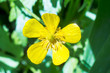 field flower buttercup