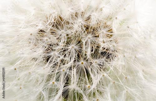 background dandelion