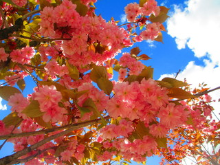 Blomstring i Hardanger