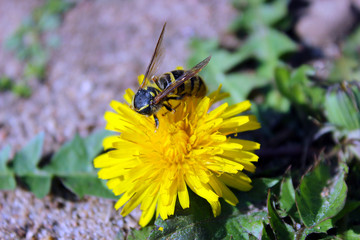 Wasp and dandelion