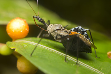 Close-up of a zelus (or assassin) bug, Borneo, Malaysia
