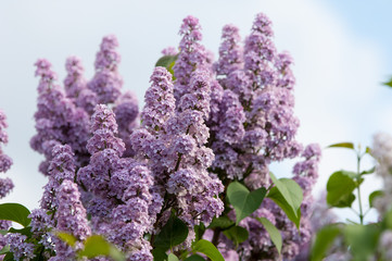 Lilacs grow in spring