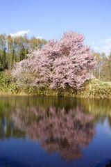 旭川市ペーパン地区一番の桜の水鏡