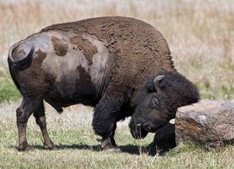 American Buffalo on the Oklahoma grasslands.