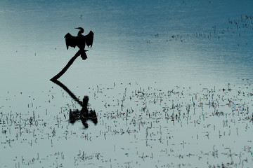 African darter silhouette