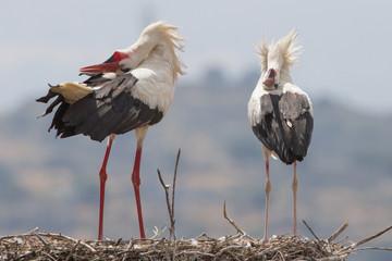 2 White storks