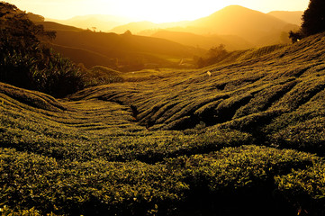 Tea Plantations at Cameron Highlands, Malaysia