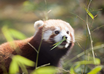 Beautiful red panda in natural habitat
