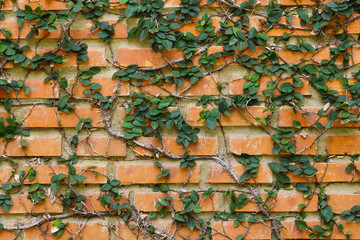 brick wall with bindweed
