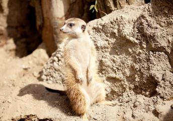 A meerkat on rock