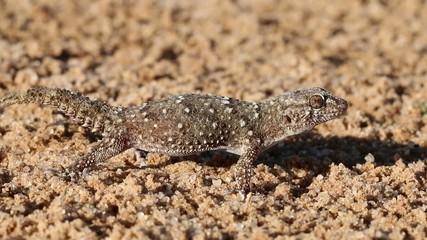 Bibron gecko, Kalahari desert