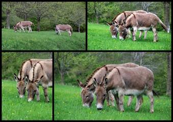 Les ânes.