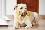 Pies z kością - 64815281