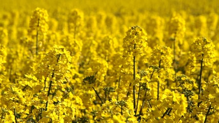 Canola fields or Rapeseed plant close up