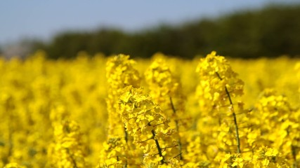 Canola fields or rapeseed plant