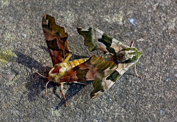Moths mating on concrete floor