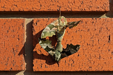 Moths mating on a red brick wall