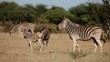 Plains (Burchells) Zebras and foal interacting