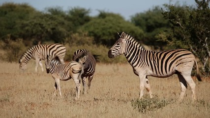 Plains (Burchells) Zebras and foal interacting