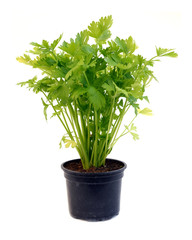 celery in pot over white