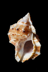 sea shell isolated on black