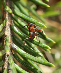 Red ant in the woods