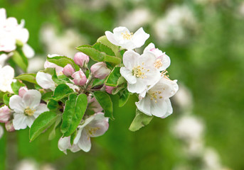 beautiful blossoming of apple tree flowers