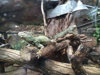 Two iguanas in the zoo