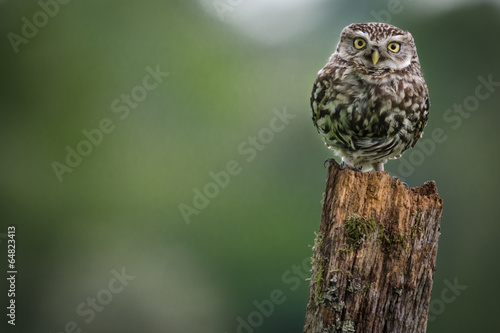 Deurstickers Uil Little Owl