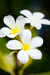 White frangipani tropical flowers
