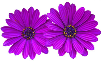 Purple daisies with copy space