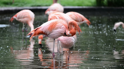 Red and Chilean flamingo in Prague zoo